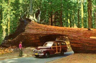 Sequoia - что общего между деревом и автомобилем, кроме модели Toyota?