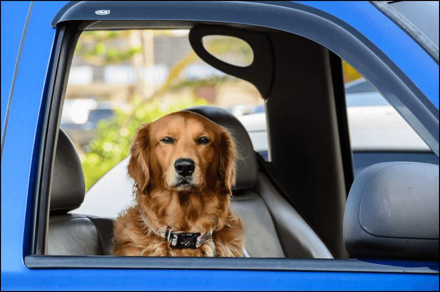 Более половины опрошенных утвердили, что присутствие собаки в автомобиле заставляет их ездить более размеренно и спокойно