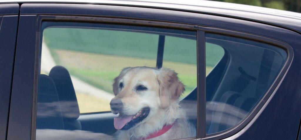 Почти 92% автомобилистов не знали о существующем достаточно большом штрафе за несоблюдение регламента перевозки домашних питомцев